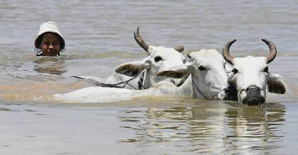 A Cambodian woman swims with her cattle to higher ground.