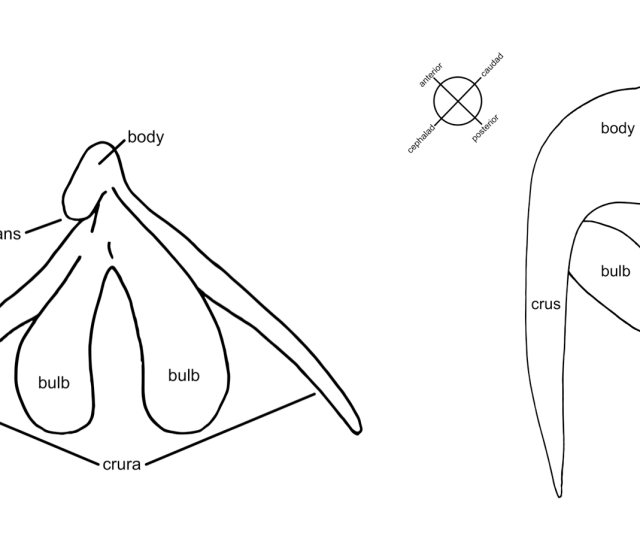 Left The Clitoris From An Anterior View All Four Parts Of The Clitoris Are Visible In This View The Glans External Portion The Body The Bulbs And The