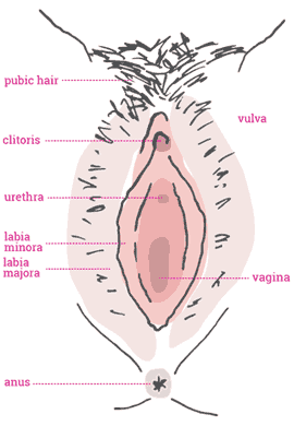small resolution of the vulva refers to the external genitalia of females the labia library women s health victoria