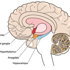 Ear Diagram Labeled Function Chevy Cobalt Stereo Wiring How A Lack Of Sleep Affects Your Brain – And Personality