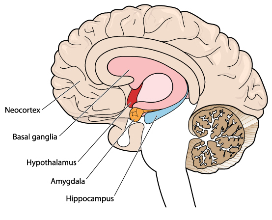 ear diagram labeled function rj45 wall plug wiring how a lack of sleep affects your brain – and personality
