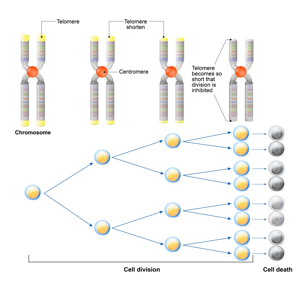 hight resolution of telomeres get clipped with each cell division limiting how many times a cell can copy itself chromosome image via www shutterstock com