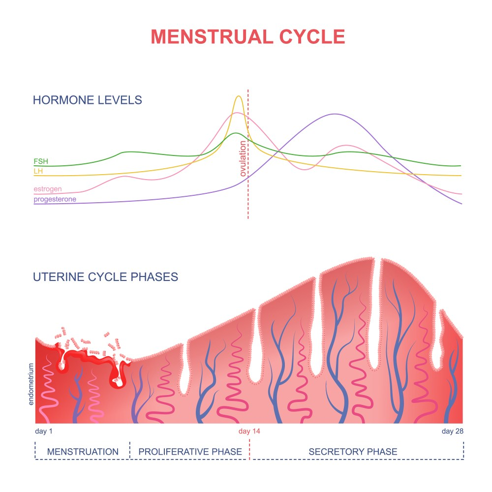 the changing levels of oestrogen and progesterone in the menstrual cycle marochkina anastasiia shutterstock [ 1000 x 1000 Pixel ]