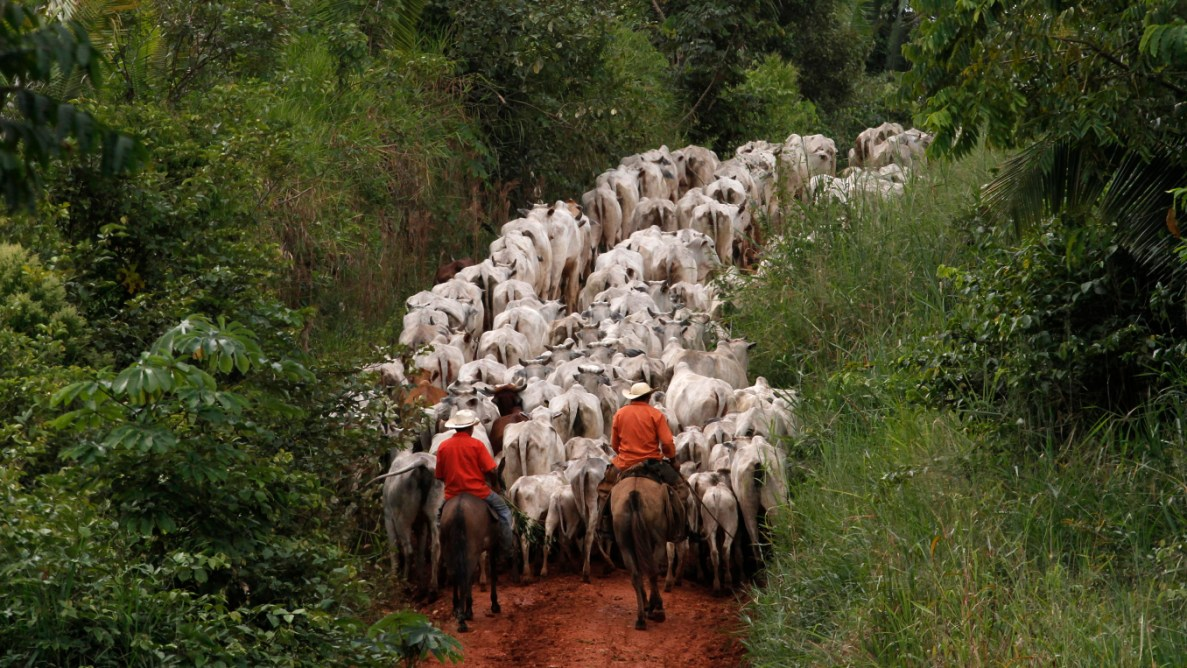 What Do Cattle Ranchers Do In The Amazon Rainforest