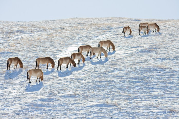 Back where they belong: Przewalski's horses in the Mongolian wilderness. Photo: gsz/Flickr, CC BY-NC-ND