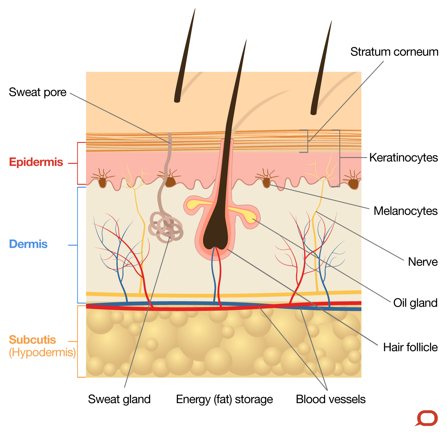 dermis layer diagram model a horn wiring the skin is very important and our largest organ what does it do epidermis outermost cellular of which varies in thickness depending on body site average s less than half millimetre