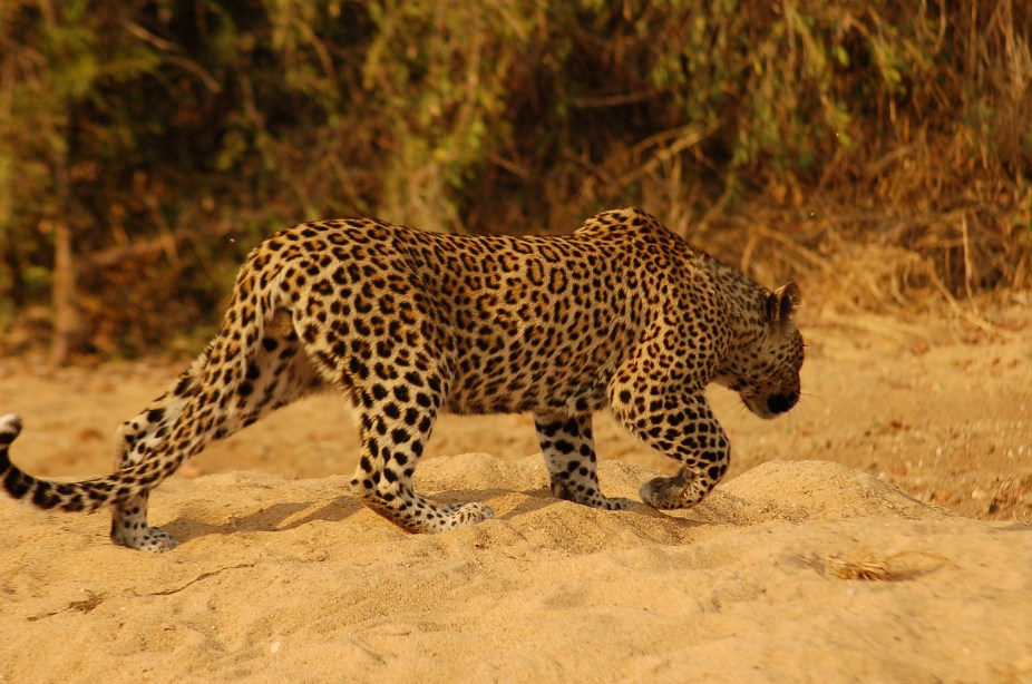 leopards get stressed here