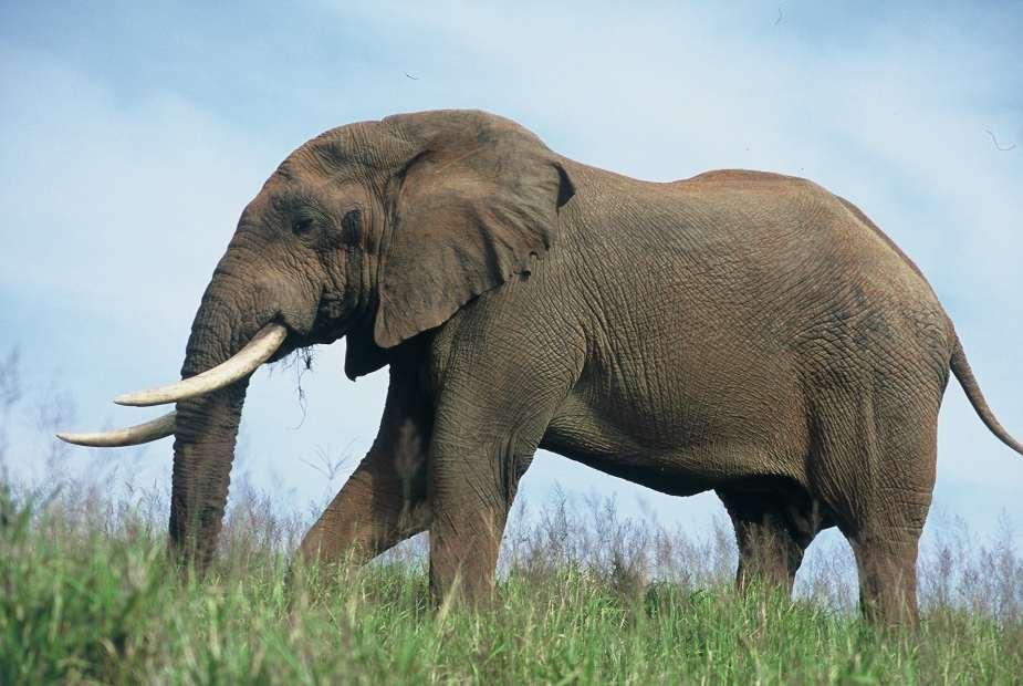 A Gigantic Trek What It Takes To Move 200 Elephants 1500 Km