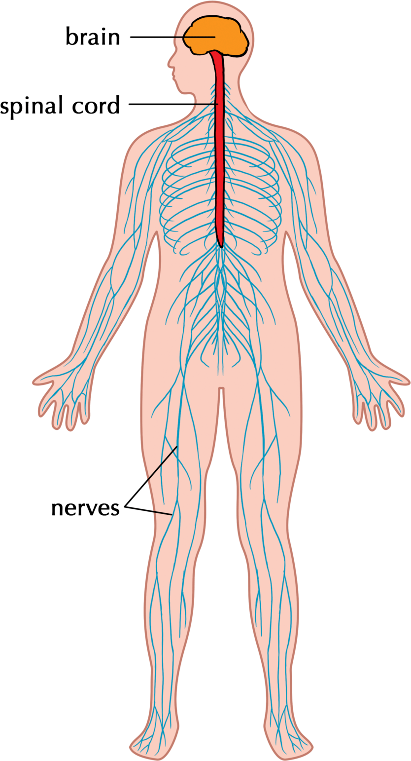 the human nervous system can be understood as a network of interconnected sensors and processors siyavula education flickr cc by [ 1000 x 1849 Pixel ]