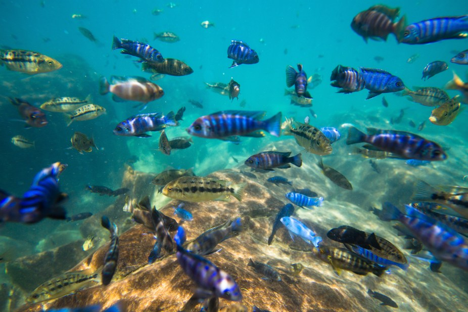 Lake Malawi is home to unique fish species Nearly 10 are