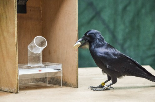new caledonian crows smart