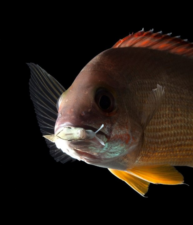 A large tropical fish looking straight ahead.