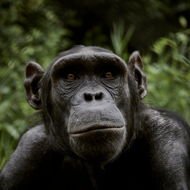central chimpanzee or tschego, scientific name Pan troglodytes troglodytes