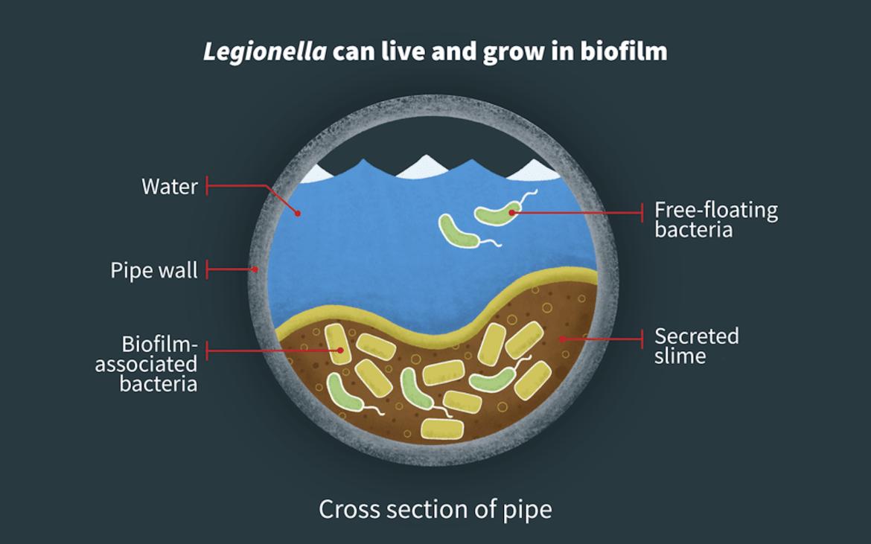 A biofilm cross-section of Legionella in a water pipe.