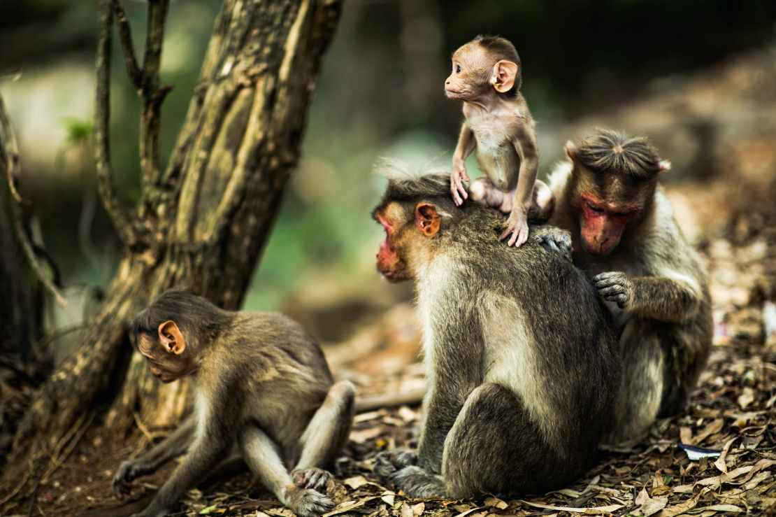 Group of primates in forest.