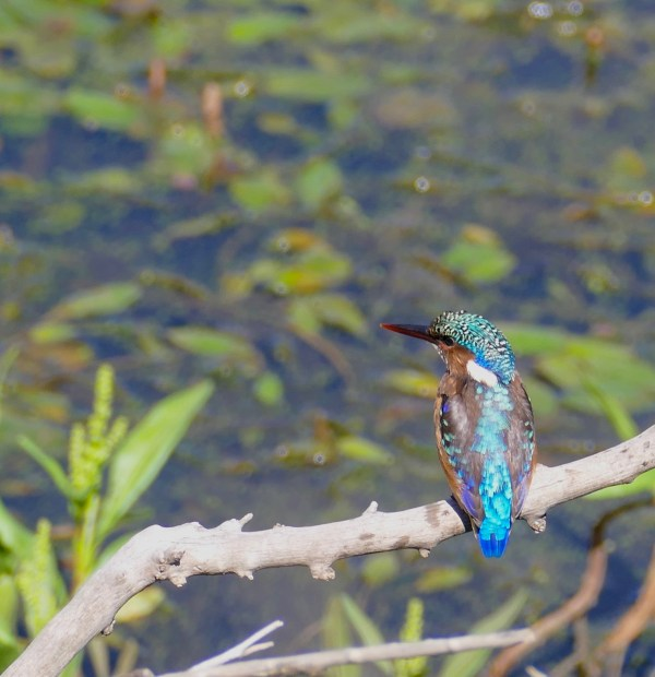 A Malachite Kingfisher perched on a branch overlooking a wetland reserve.