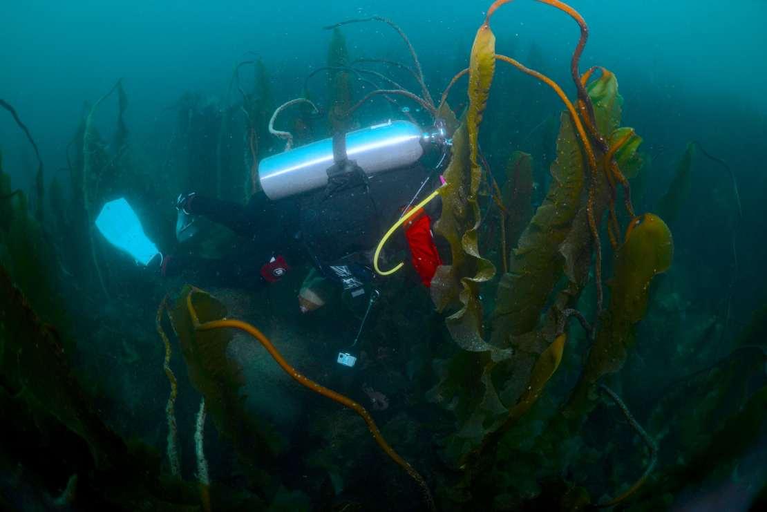 A scuba diver swims through kelp fronds.