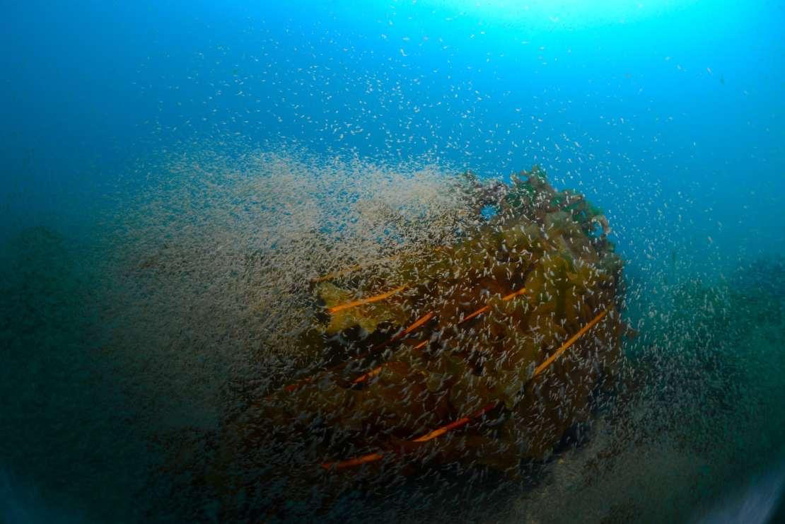 A cloud of shrimp surrounds a large path of kelp.