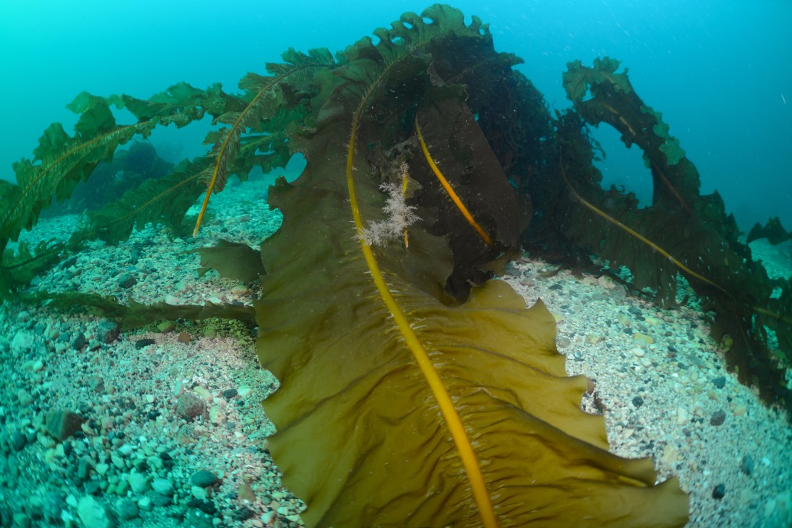 Large greeny-brown and frilled fronds of seaweed snake across a gravelly seabed.