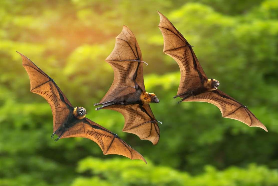 Three bats flying above trees.
