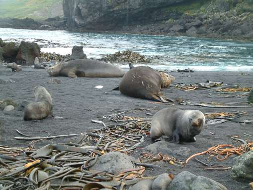 Seals and seaweed on a southern beach