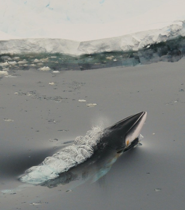 Minke whale in Antarctic waters