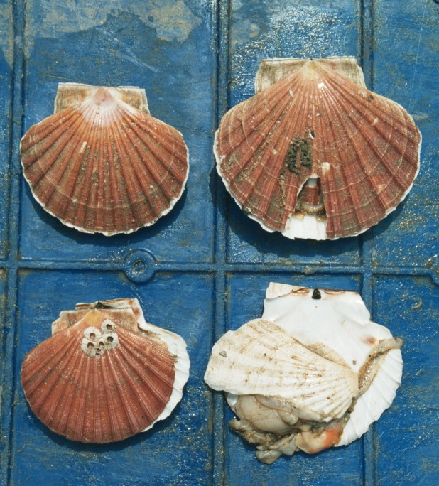 Photo showing four scallop shells
