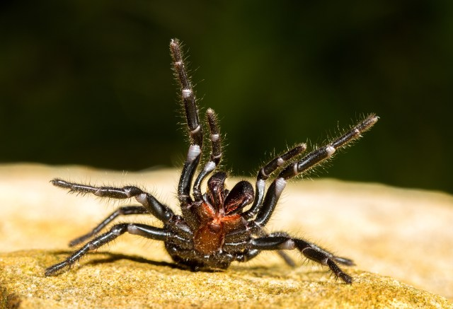 Sydney funnel-web raising its legs