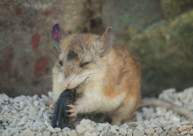 A Grasshopper mouse eats a stink beetle headfirst.