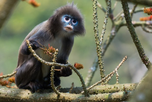 Black monkey with blue face sits on branch.