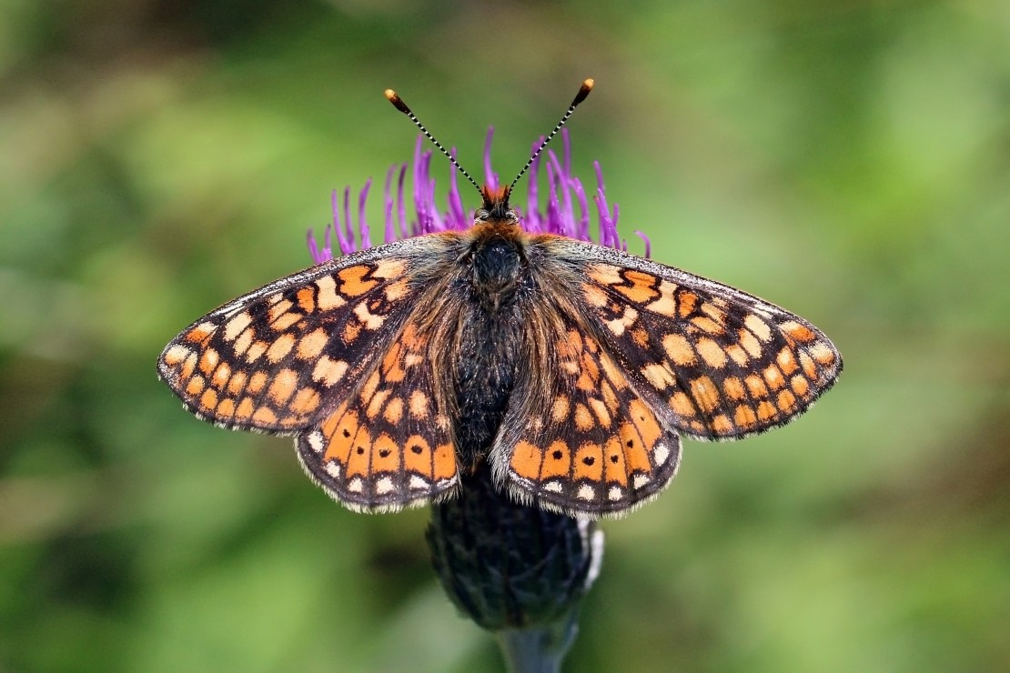 An orange, black and white patterned butterfly on a purple thistle flower.