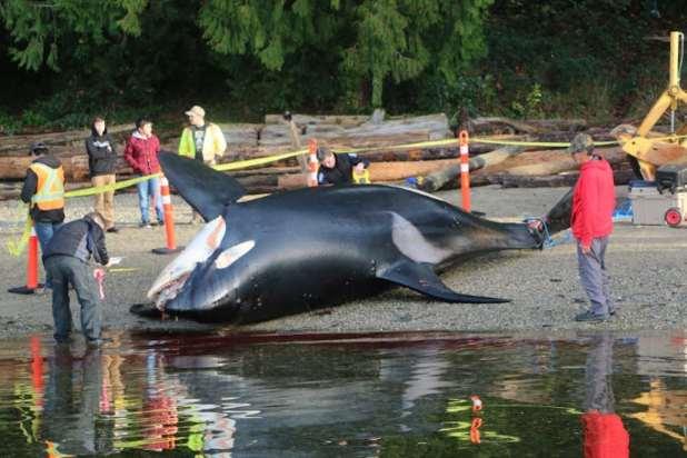 A dead killer whale lies on a beach