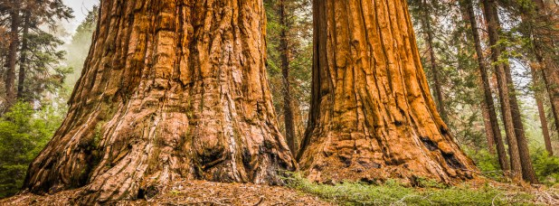 Two large tree trunks in a forest