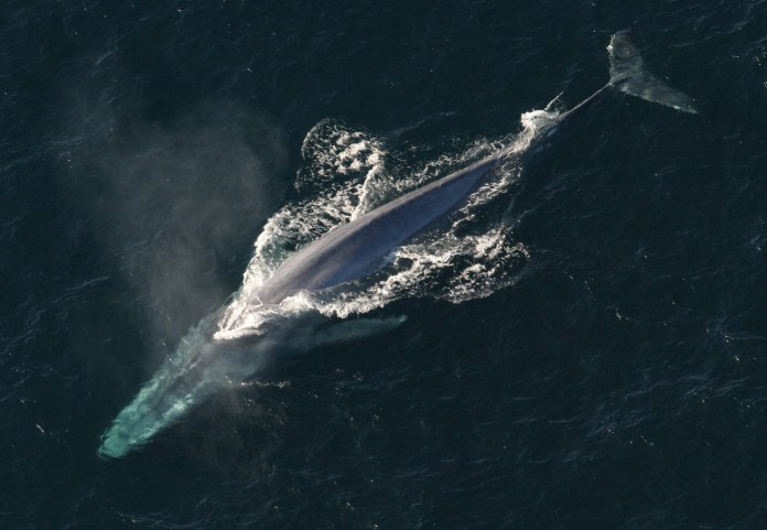 An aerial view of a blue whale surfacing.