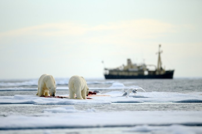 Two polar bears eat a seal on sea ice with a ship in the background.