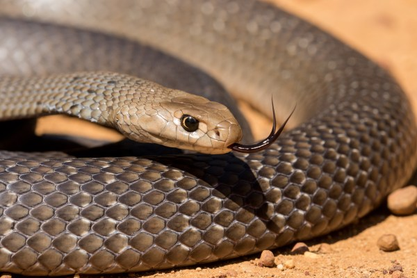 Good luck fella, stay safe': a snake catcher explains why our fear of brown  snakes is misplaced