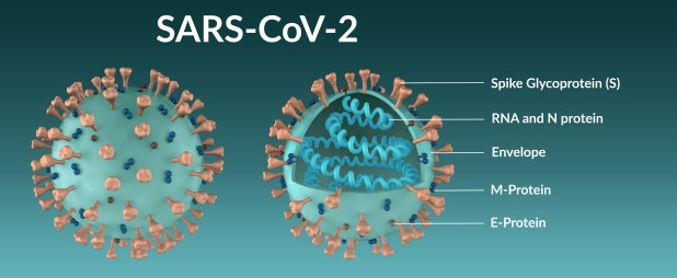Diagram showing the structure of the SARS-CoV-2 coronavirus molecule in full and in section.