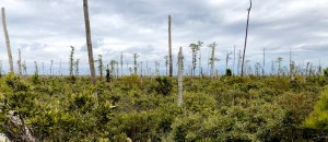 """Sea level rise kills trees along the Atlantic coast, creating """"ghost forests"""" visible from space"""