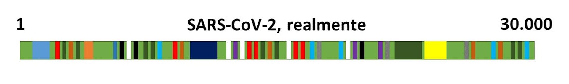 Representación del genoma de SARS-CoV-2. Elaboración propia.