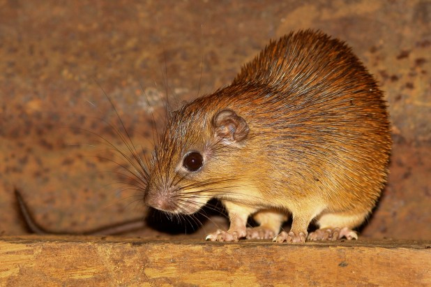 Small golden coloured rat.