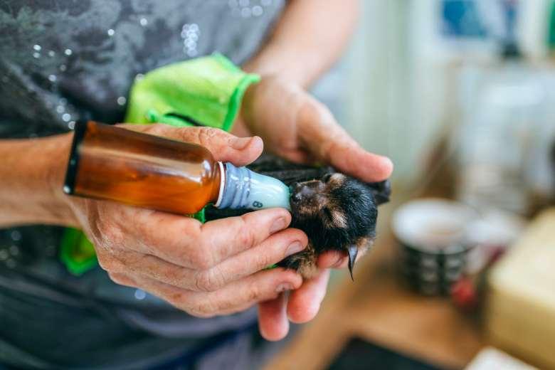 Un veterinario trata de curar a un murciélago alimentándole con un biberón.