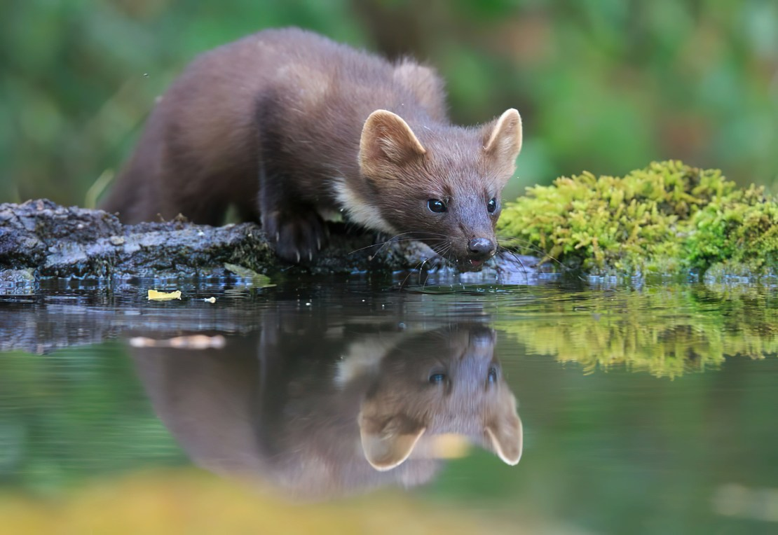 A weasel-like mammal hugging a river bank to sip the water.
