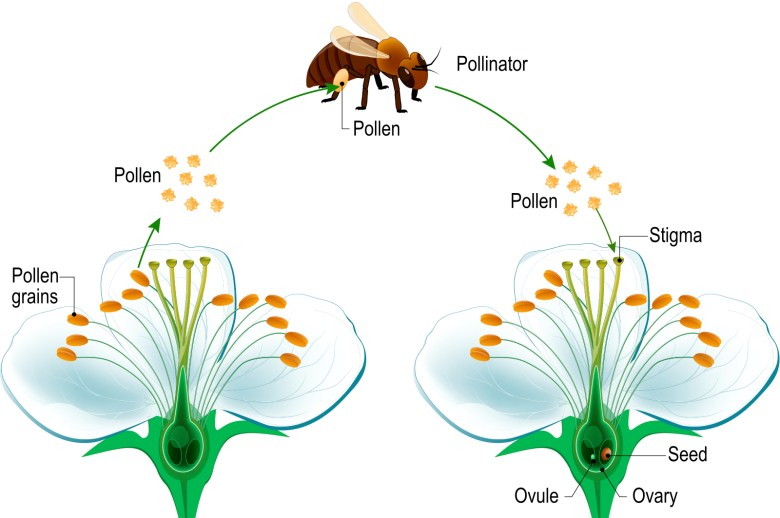 Bee transfers pollen from one blossom to another