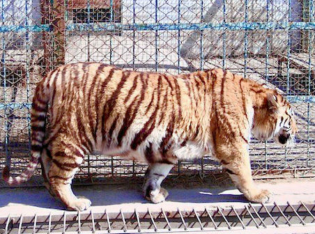 A fat tiger in a cage.