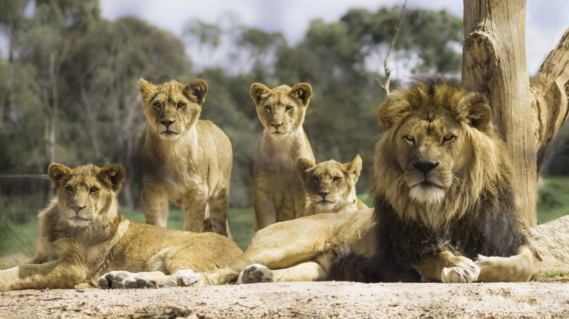 Male and female lions with three cubs.