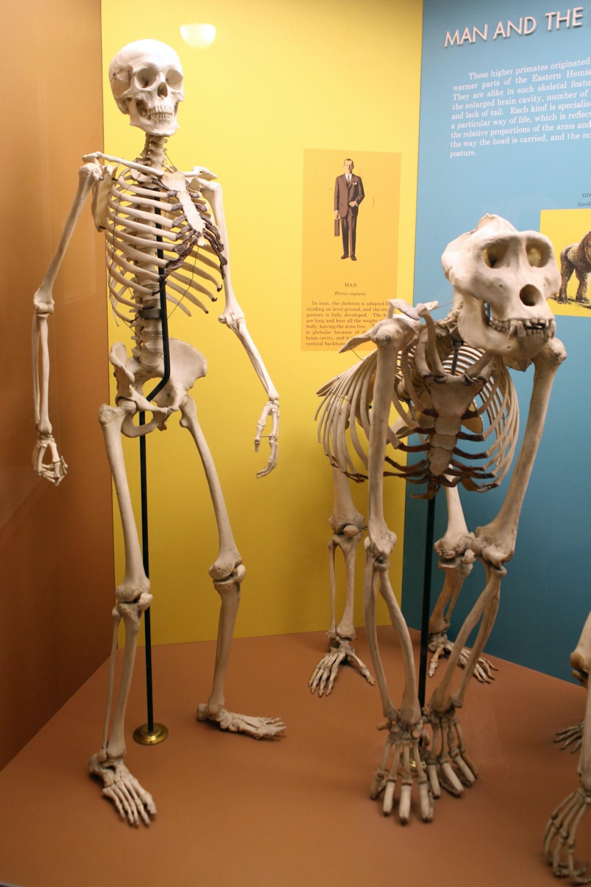An upright human skeleton next to a gorilla skeleton on all fours.