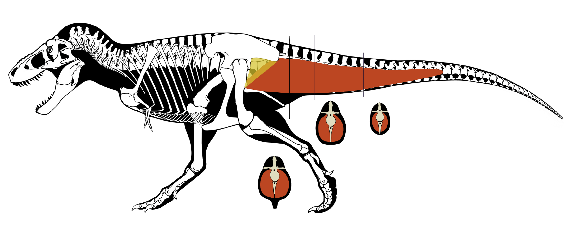 An image of a Tyrannosaurus rex showing large tail muscles connecting to the upper leg and hip.