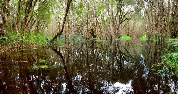 Paperbark trees surround a body of water