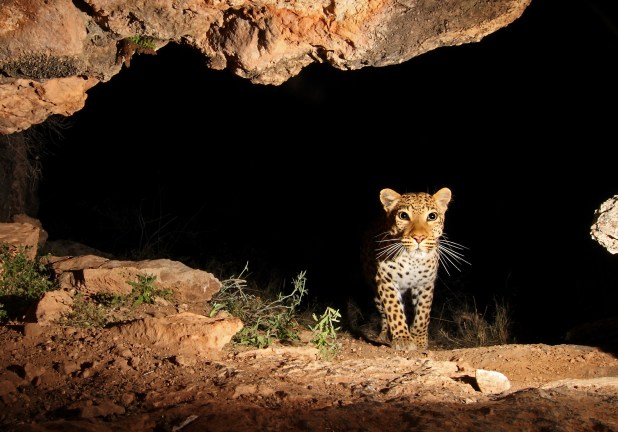 A leopard walking out of a cave.
