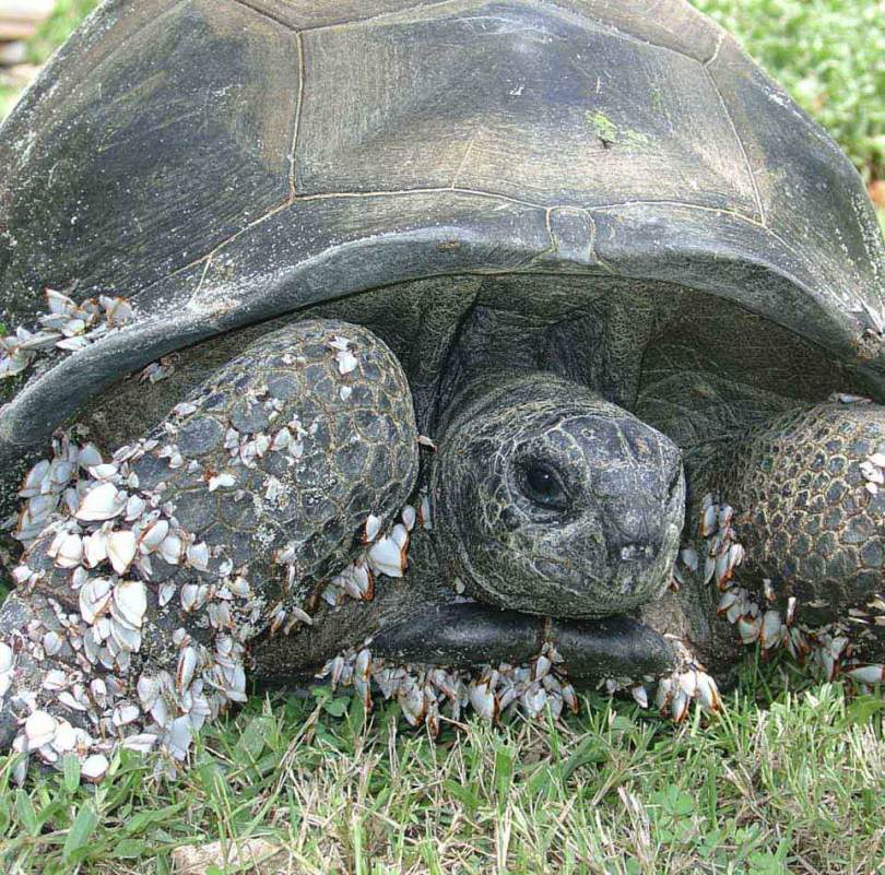 A tortoise covered in barnacles